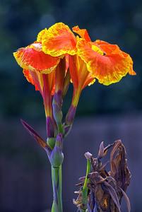 Fleurs de cannas