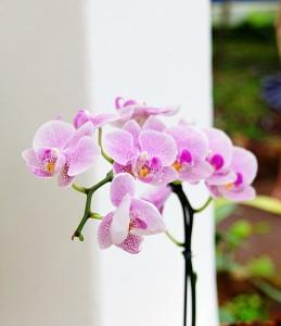 Orchidées fleurs immergées